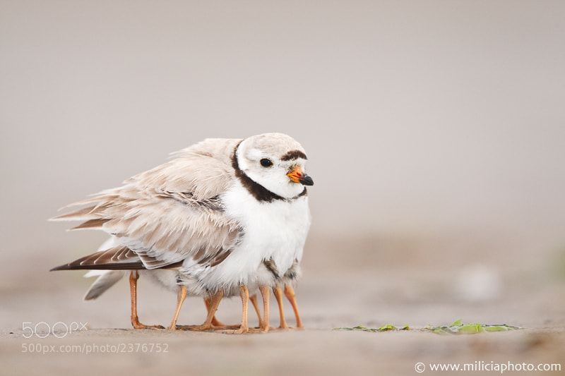 Photograph  Piping Plover : Sandy Point State Reservation : Plum Island, MA by Michael Milicia on 500px