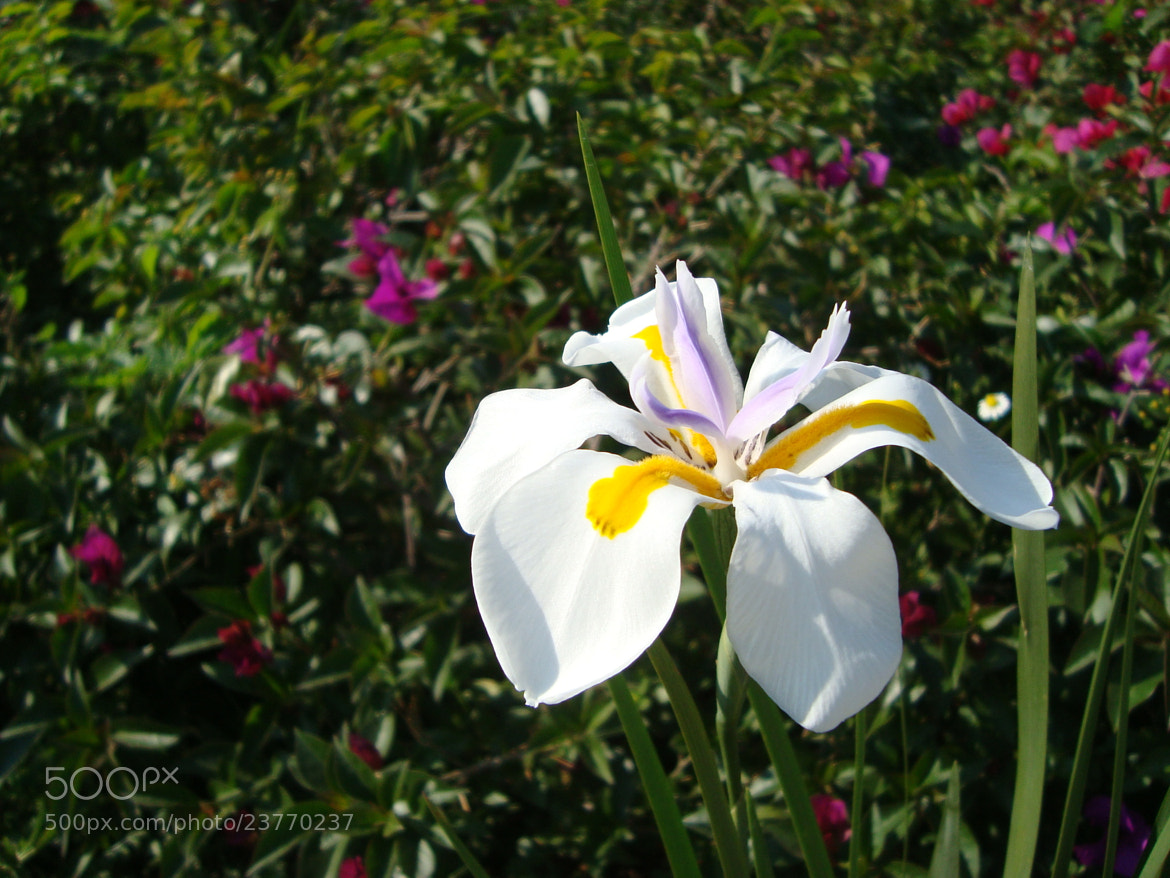 Photograph Dietes iridioides - África Iris  by lilivea on 500px