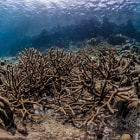 Staghorn coral at Klein Bonaire.