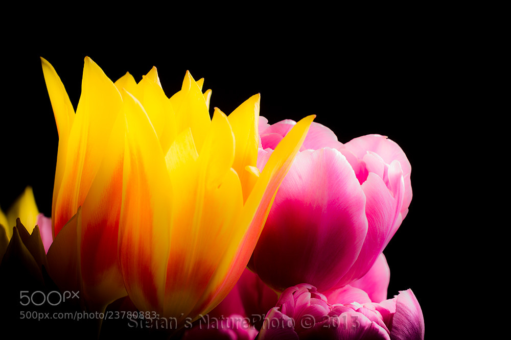 Photograph Tulip by Stefan Gustavsson on 500px
