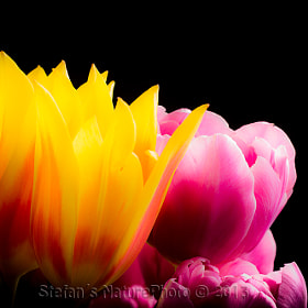 Tulip by Stefan Gustavsson (_SNaP_)) on 500px.com