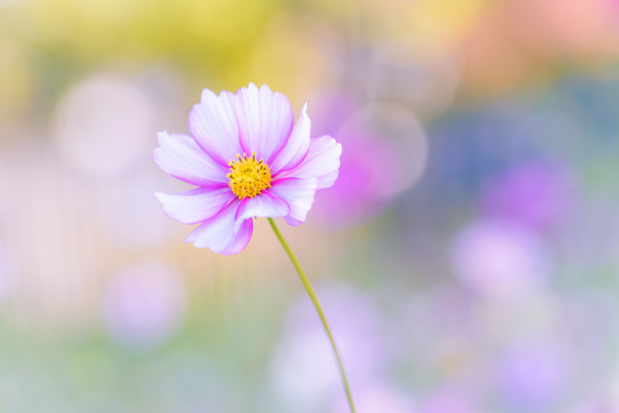 Cosmos Flower by L.th  on 500px.com
