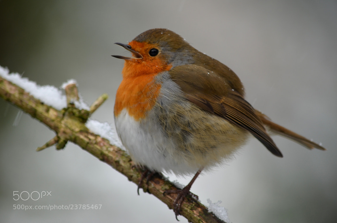 Photograph Singing Robin by Ryan Clark on 500px