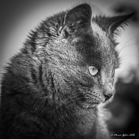 wildcat by Mario Gestri (gestrimario)) on 500px.com