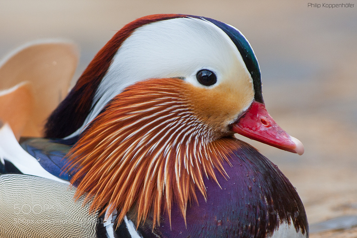 Photograph { the beauty of a mandarin } by Philip Koppenhöfer on 500px