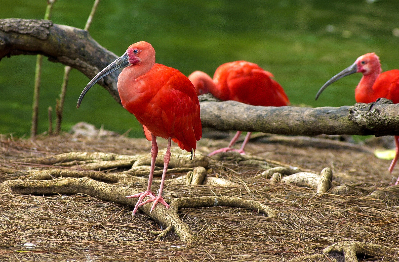 Photograph Scarlet Ibis by George Bloise on 500px