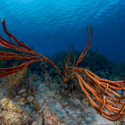 In the Caribbean sea there are many species of sponges; the Rope Sponges are one of the most spectacular. This picture was taken on Bonaire.