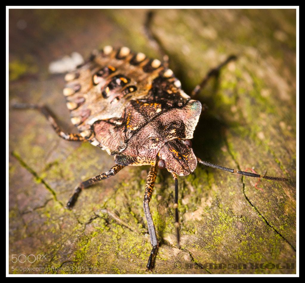 Photograph Shield Bug by Brendan Keogh on 500px