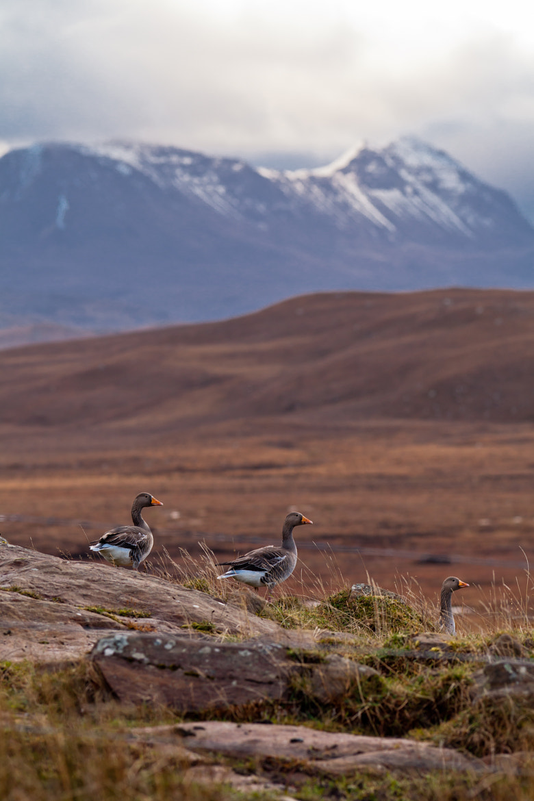 Photograph Greylags by Matthew Hellewell on 500px