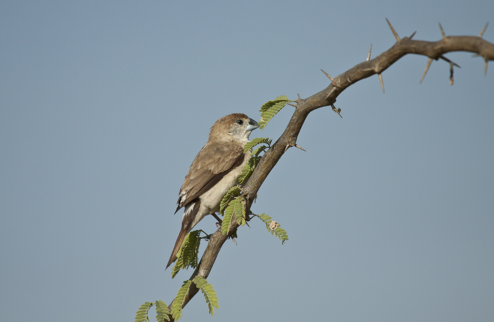 Photograph  Indian Silverbill by Nirmalya Roy on 500px