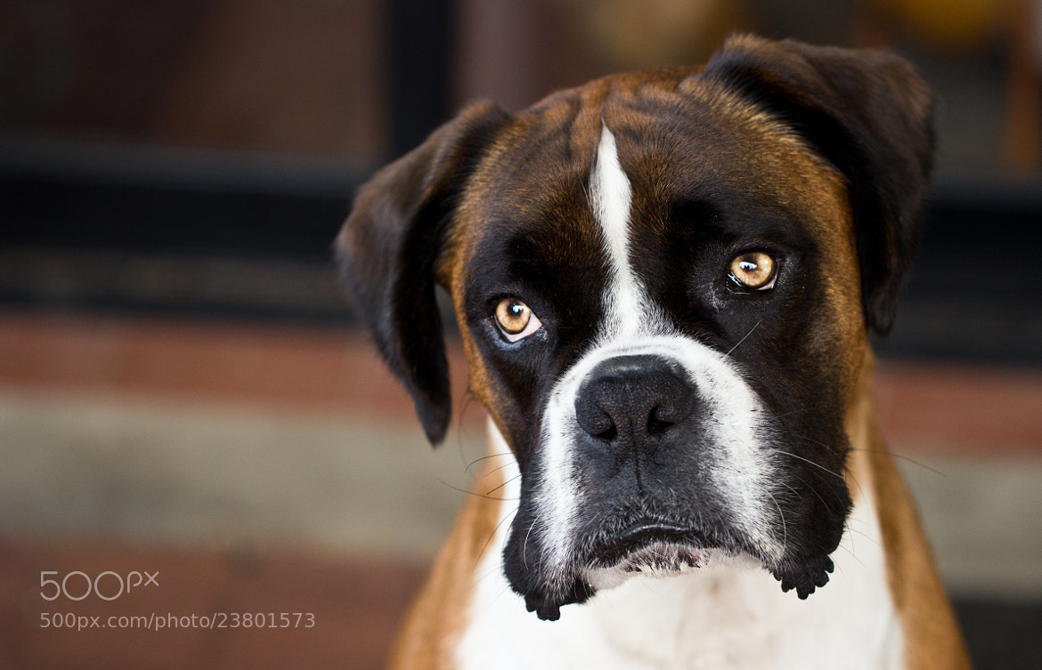 Photograph Banjo The Boxer by Elouise  on 500px