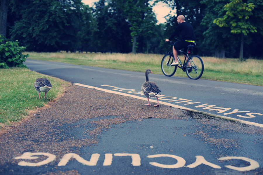 Photograph No cycling for ducks  by Lena Leirich on 500px