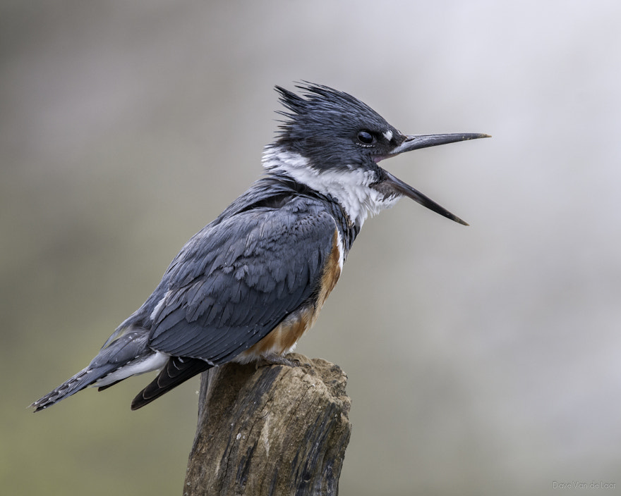 Photograph Belted Kingfisher by Dave Van de Laar on 500px
