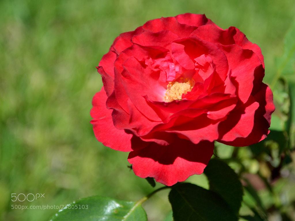 Photograph Rosa by Adrián Armando on 500px