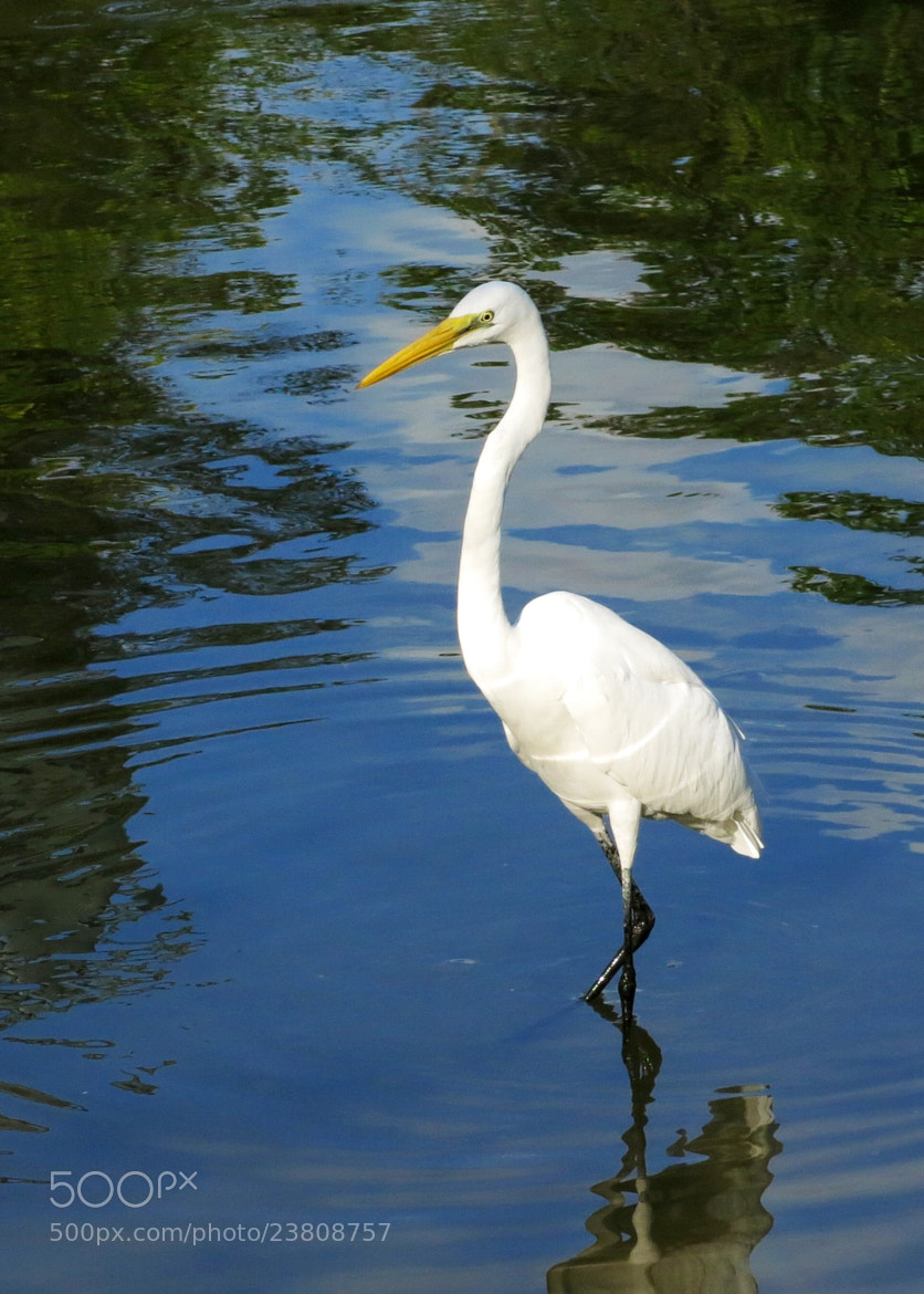 Photograph Great Egret by Helen  Liao on 500px