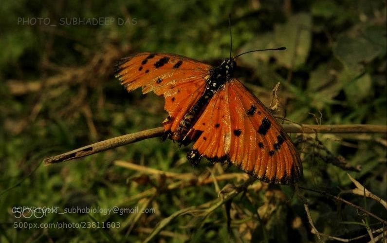 Photograph TAWNY COSTER(Acraea terpsicore) by SUBHA   on 500px