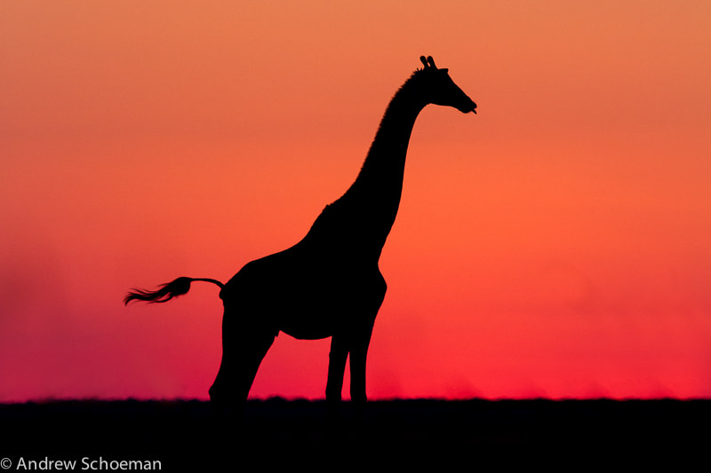 Photograph Pink Giraffe by Andrew Schoeman on 500px