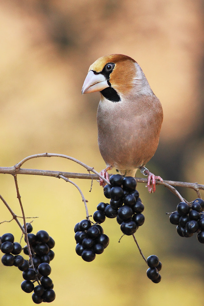 Photograph Hawfinch by Hencz Judit on 500px