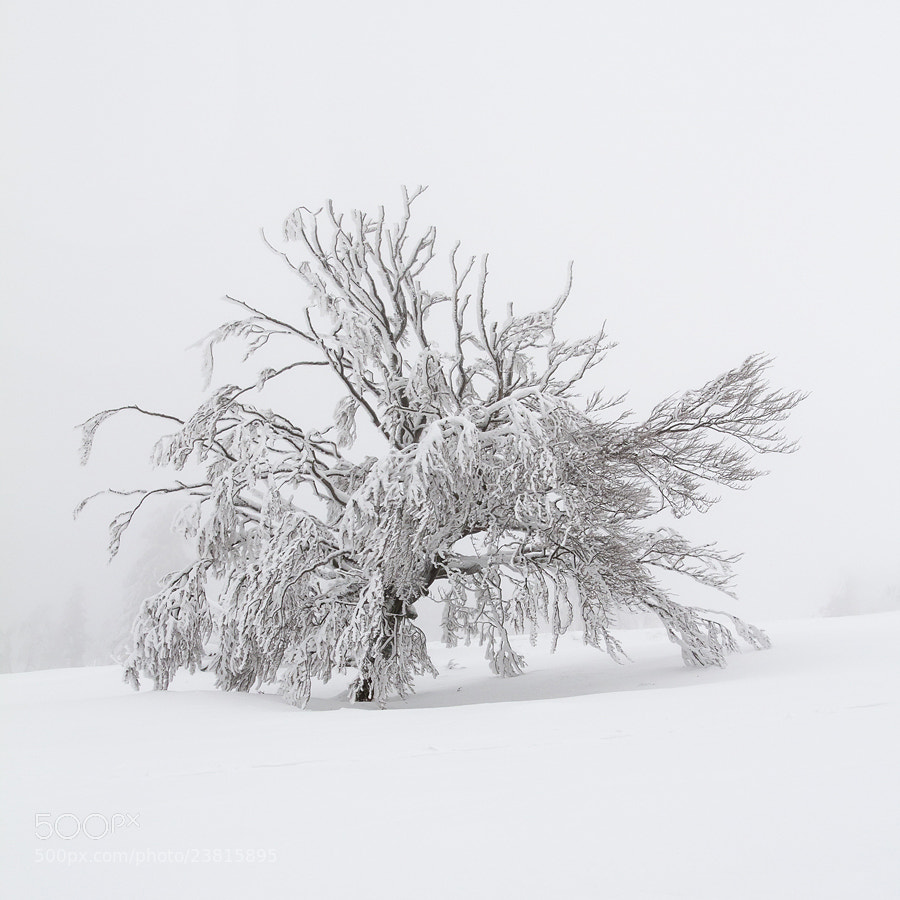 Photograph ( White Tree ) by Geoffrey Gilson on 500px