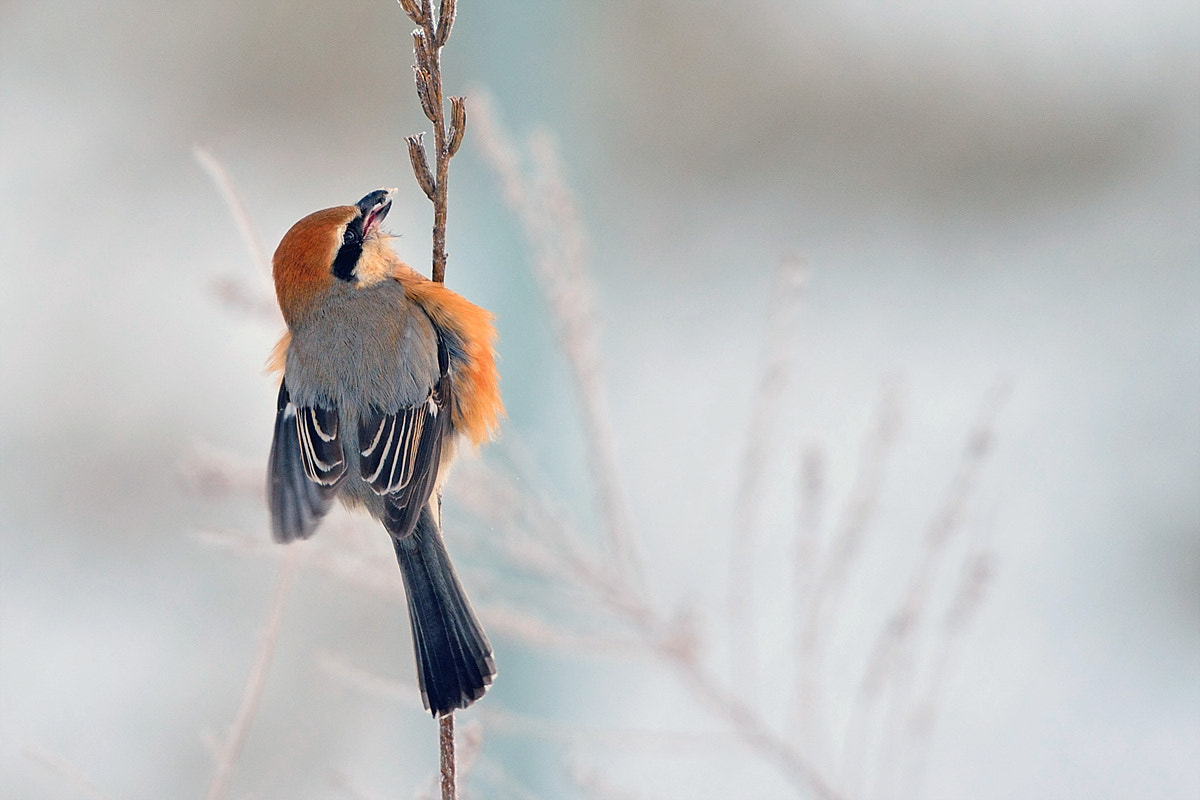 Photograph Bull-headed-Shrike by Young Sung Bae on 500px