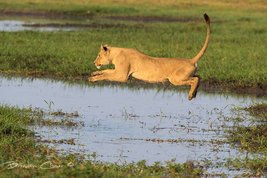 Photograph Flying Lioness by Brendon Cremer on 500px