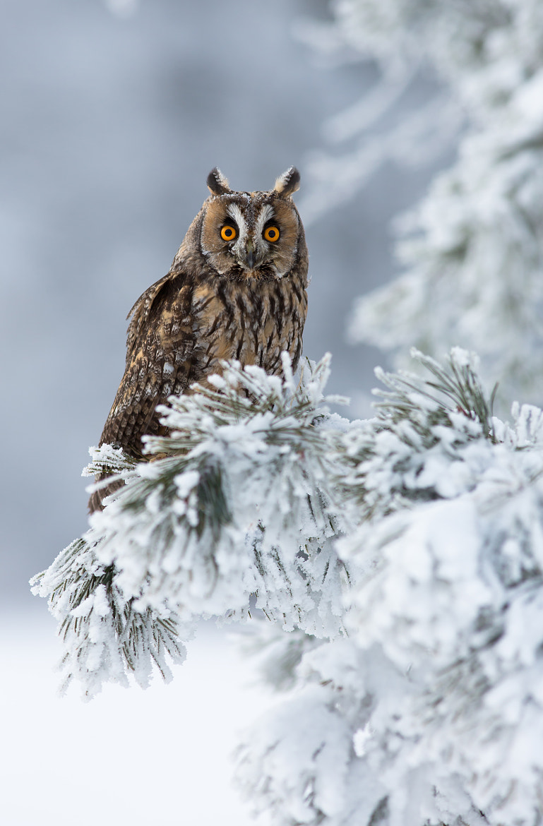 Photograph Long Eared Owl by Milan Zygmunt on 500px