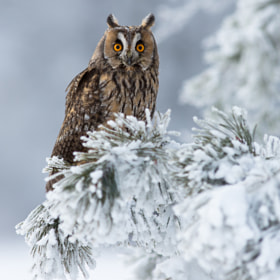 Long Eared Owl by Milan Zygmunt (Milan_Zygmunt)) on 500px.com