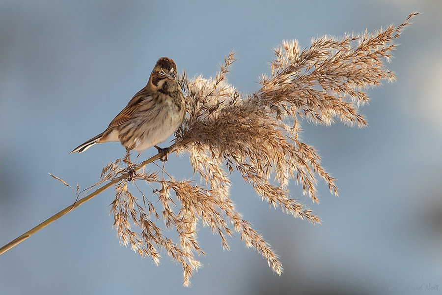 Photograph Reed Bunting by Siegfried Noët on 500px