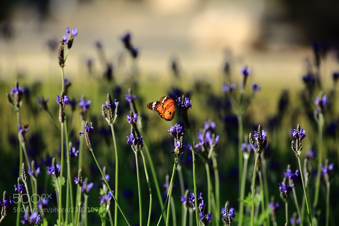 Photograph Among the Lavender by Mike Hsu on 500px