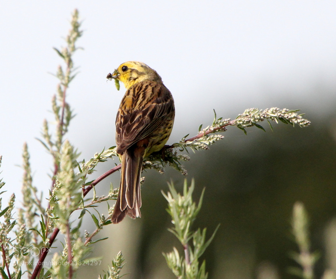 Photograph Yellowhammer Time! by Ger Bosma on 500px