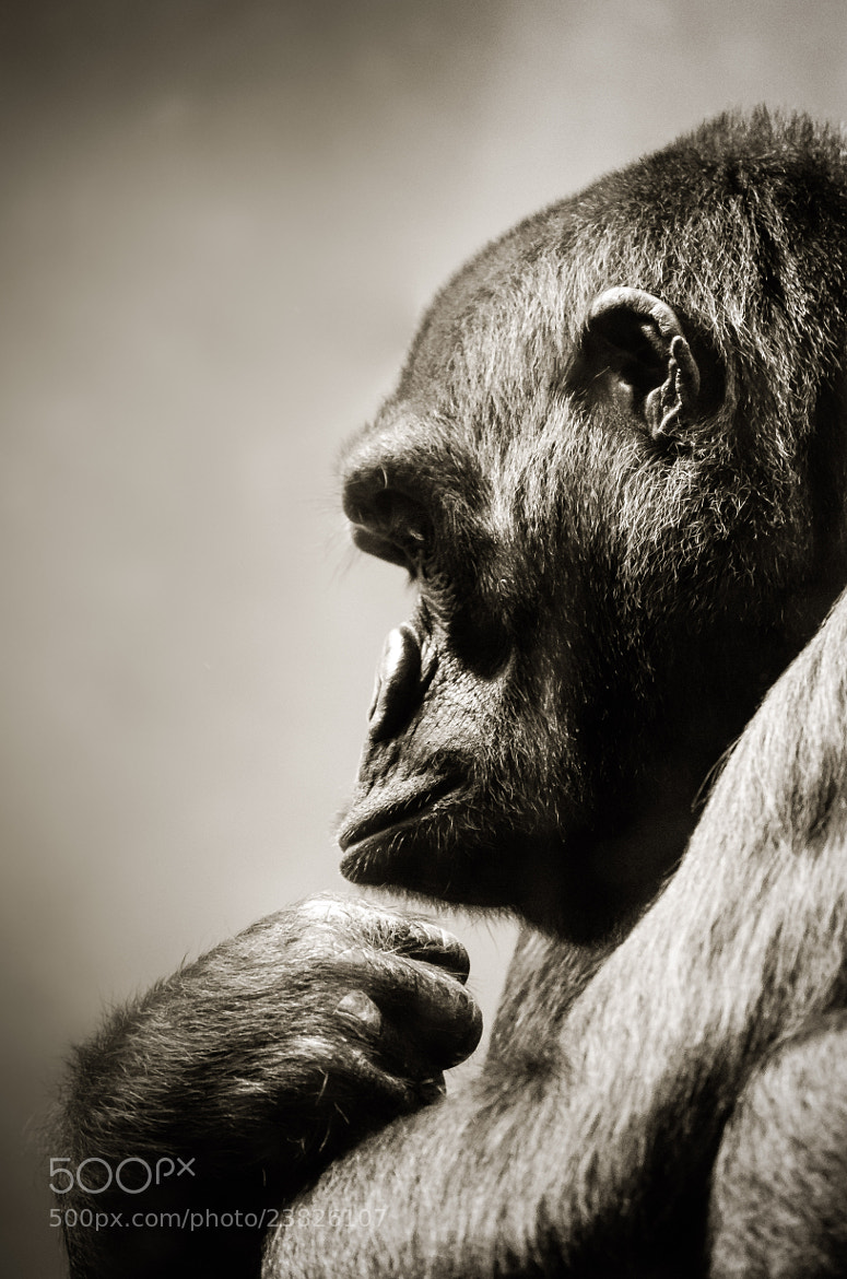 Photograph Portrait of an Ape by Kenny  Alevxey on 500px