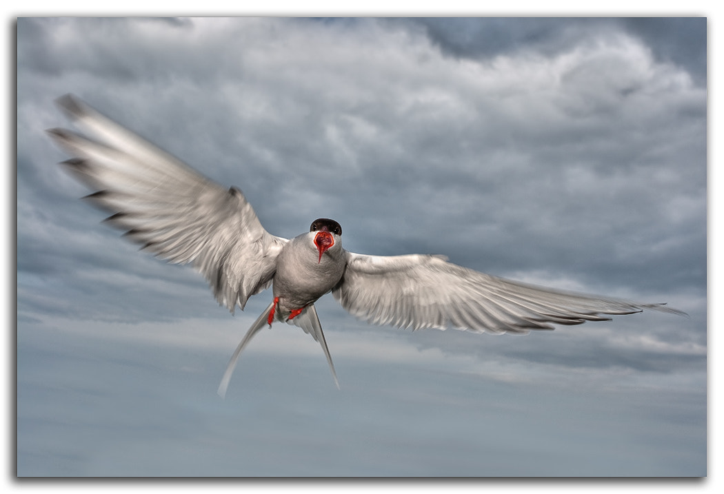Photograph Arctic Tern by David Whistlecraft on 500px