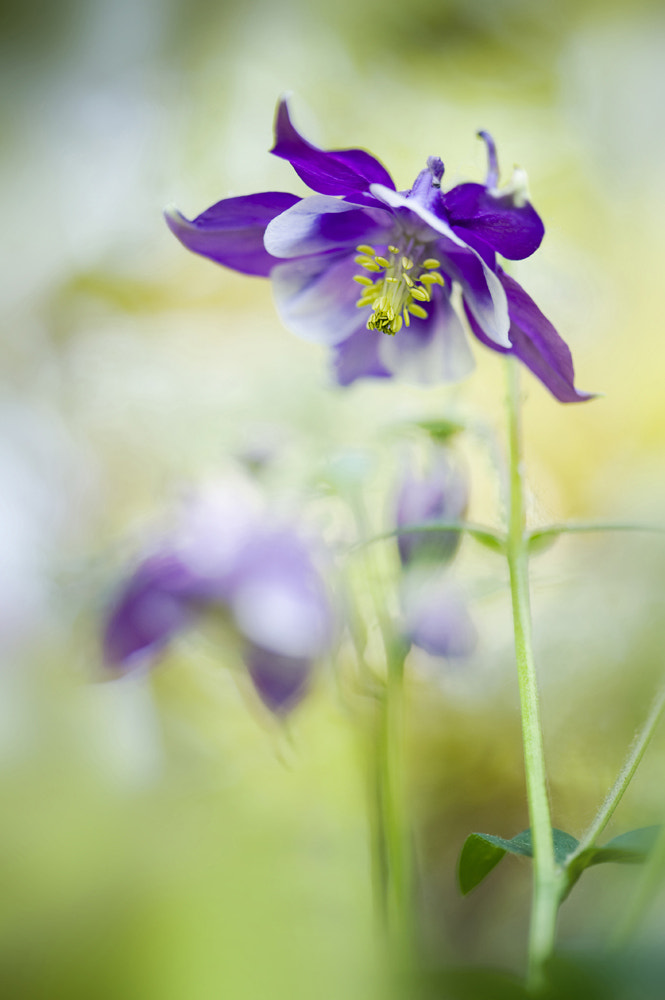 Photograph Aquilegia Vulgaris by Jacky Parker on 500px