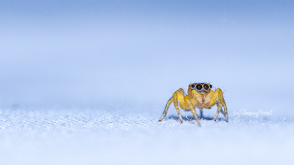 Photograph Jumping spiders. by Aronnsak Teelanuth on 500px