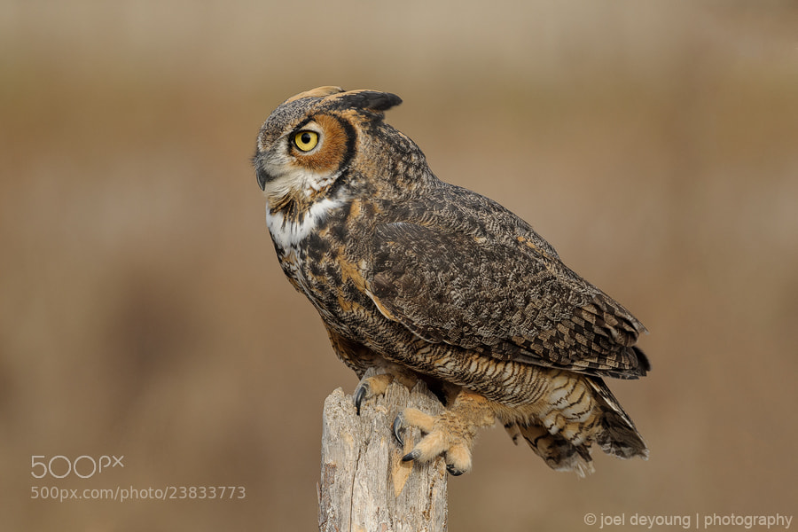Photograph Great Horned Owl (Captive) by Joel DeYoung on 500px