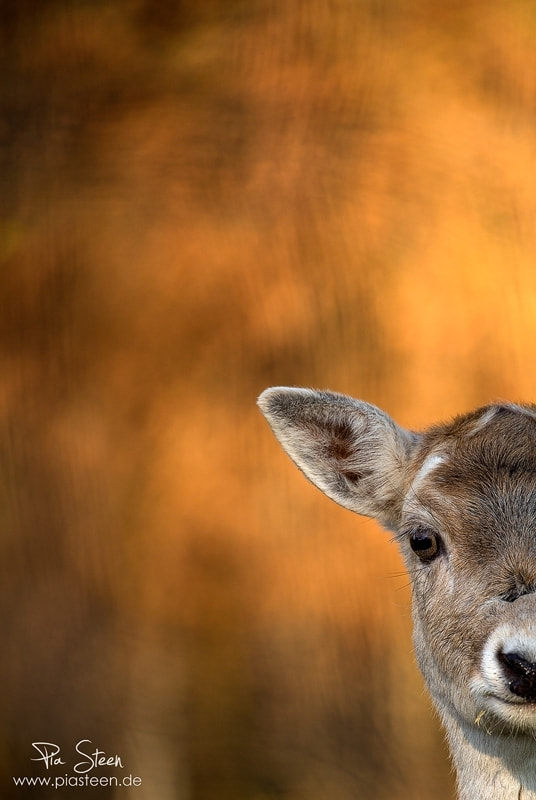 Photograph Deer in autumn light by Pia Steen on 500px