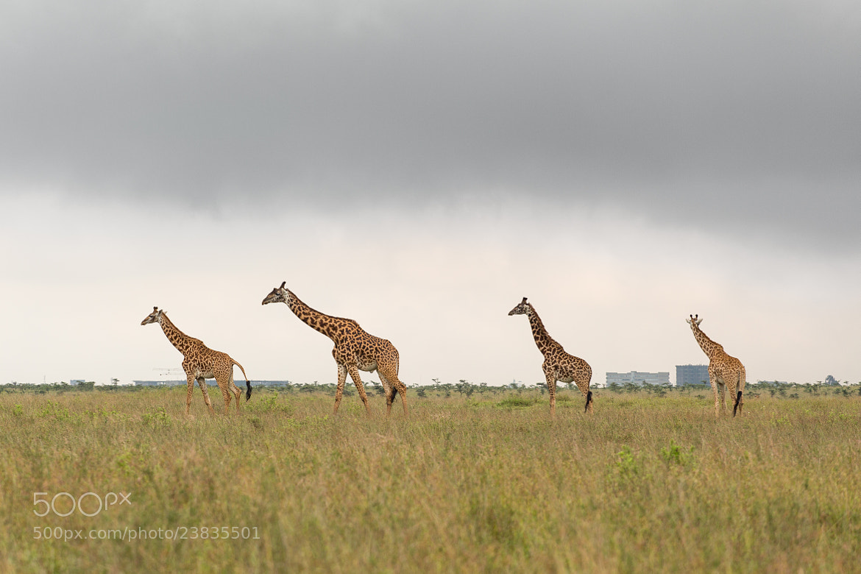 Photograph Giraffe family in Kenya by Dereje Belachew on 500px
