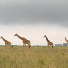 Постер, плакат: Giraffe family in Kenya