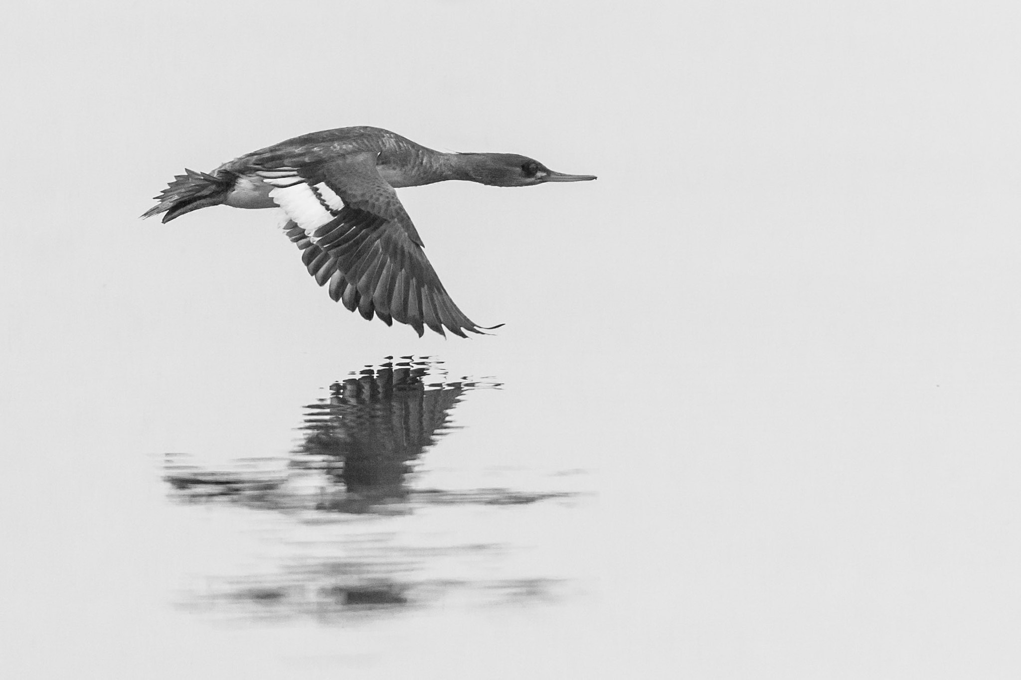 Photograph Merganser Duck Flying by Tony Northrup on 500px