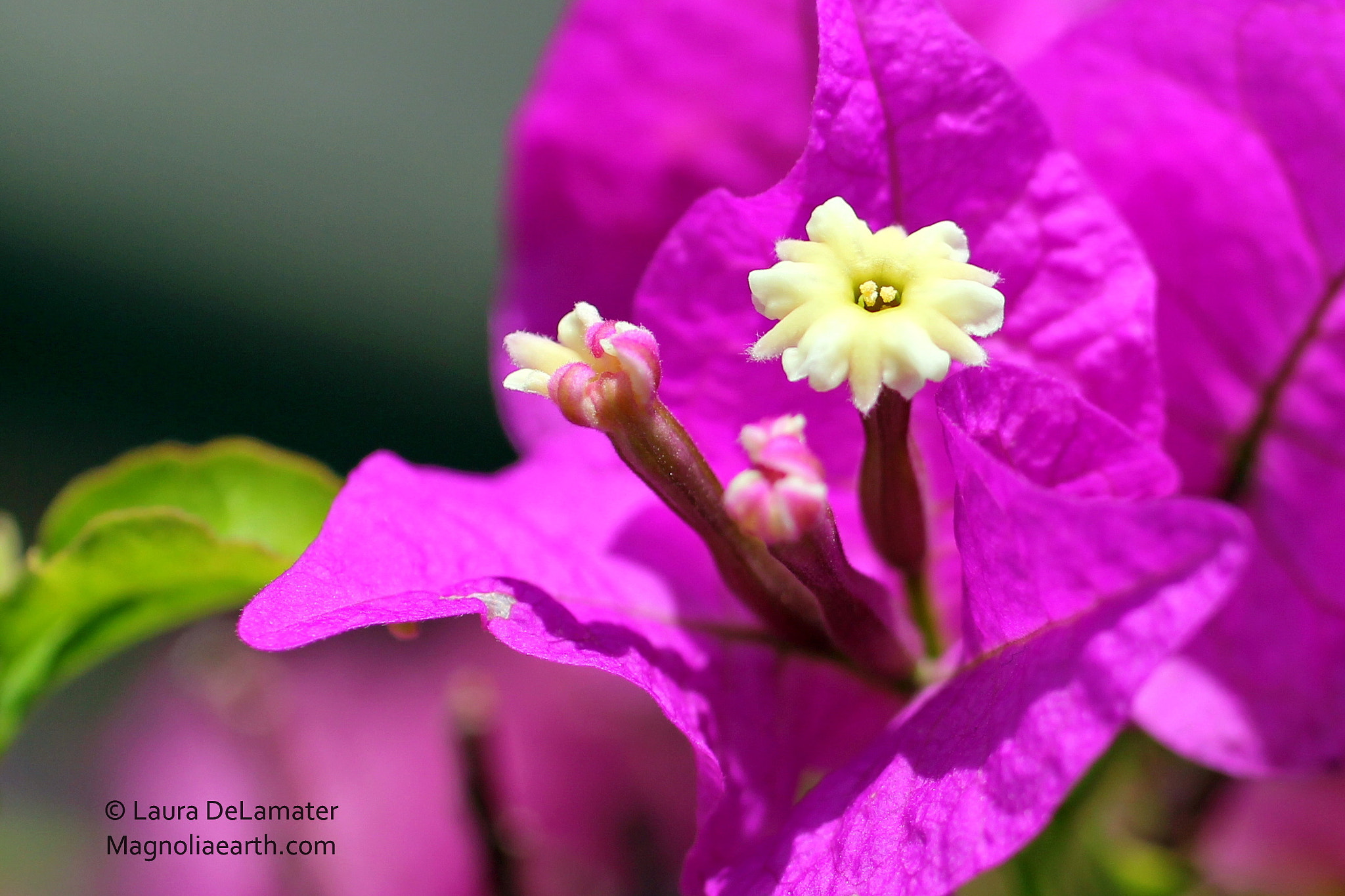 Photograph Bougainvillea Macro by Laura DeLamater on 500px