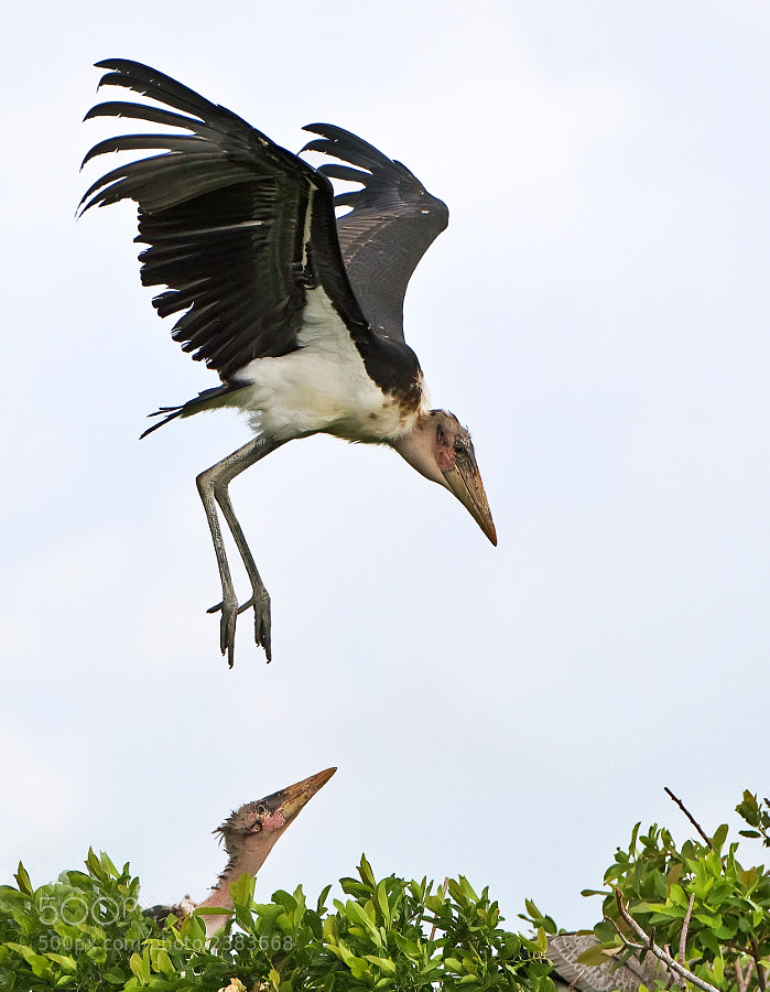 Maribou Stork, in the Okovango Delta, 1st January 2011