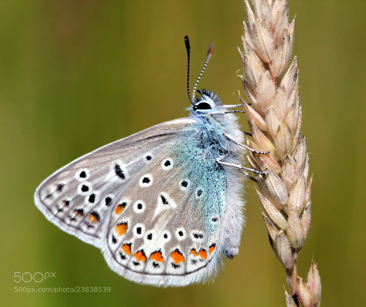 Photograph  Common Blue (Polyommatus Icarus) by Ger Bosma on 500px