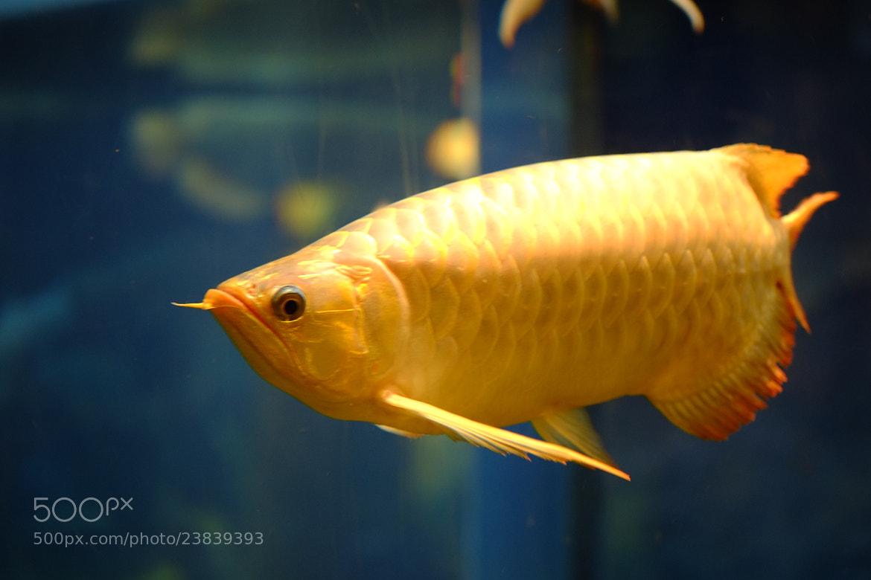 Photograph arapaima fish by eddie lau on 500px for Kumak s fish