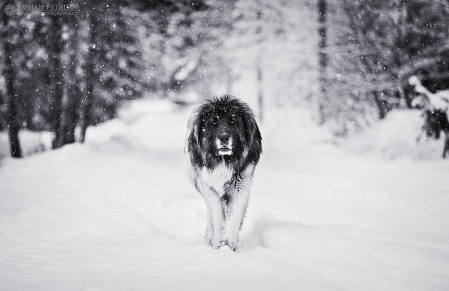 Photograph King of snow by Adrian Petrisor on 500px