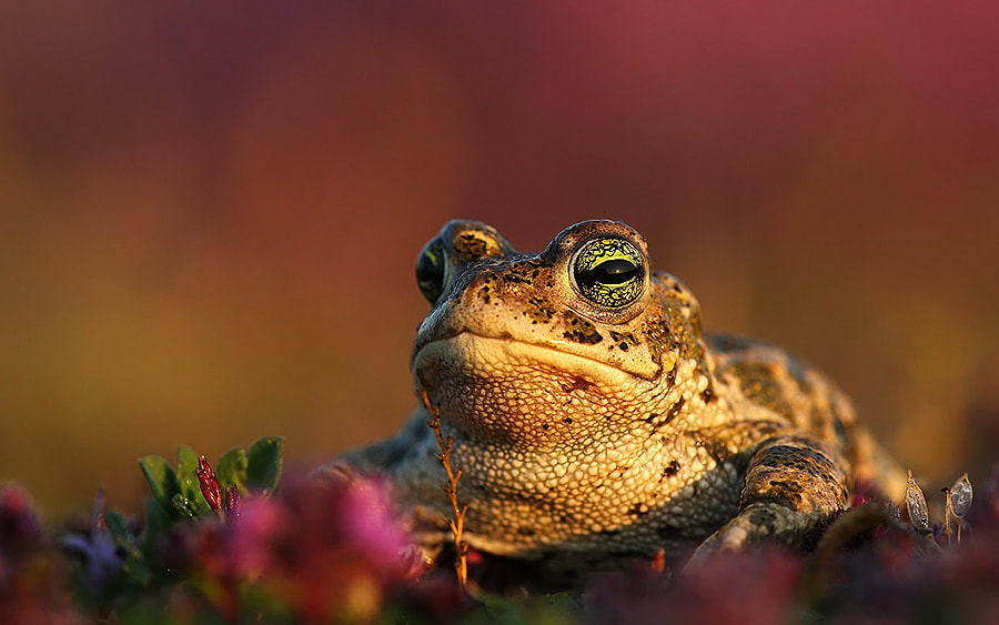 Photograph Natterjack toad  by Wouter Pattyn on 500px