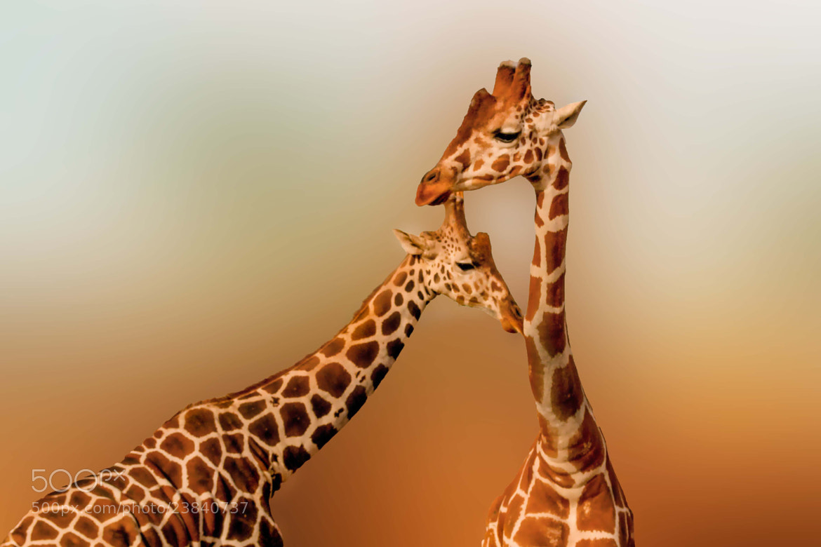 Photograph giraffe love by Rocio Adame on 500px