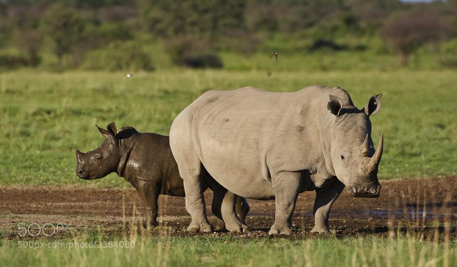 Whie Rhino and Calf taken in Khama Rhino Sanctuary, Botswana, 23d December 2008