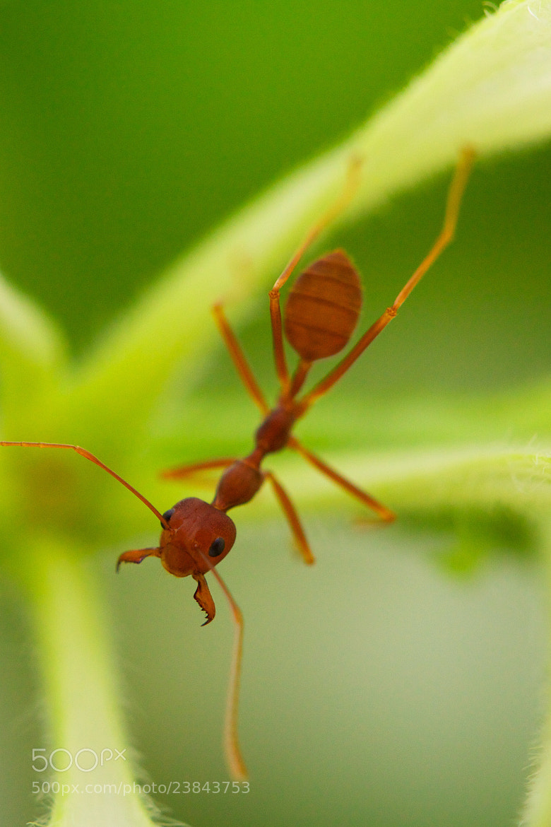 Photograph Ant in nature by Mahmud Ahsan on 500px