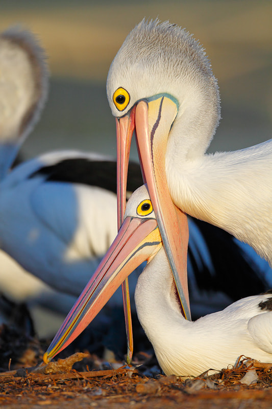 Photograph Love - Pelican style by Ofer Levy on 500px