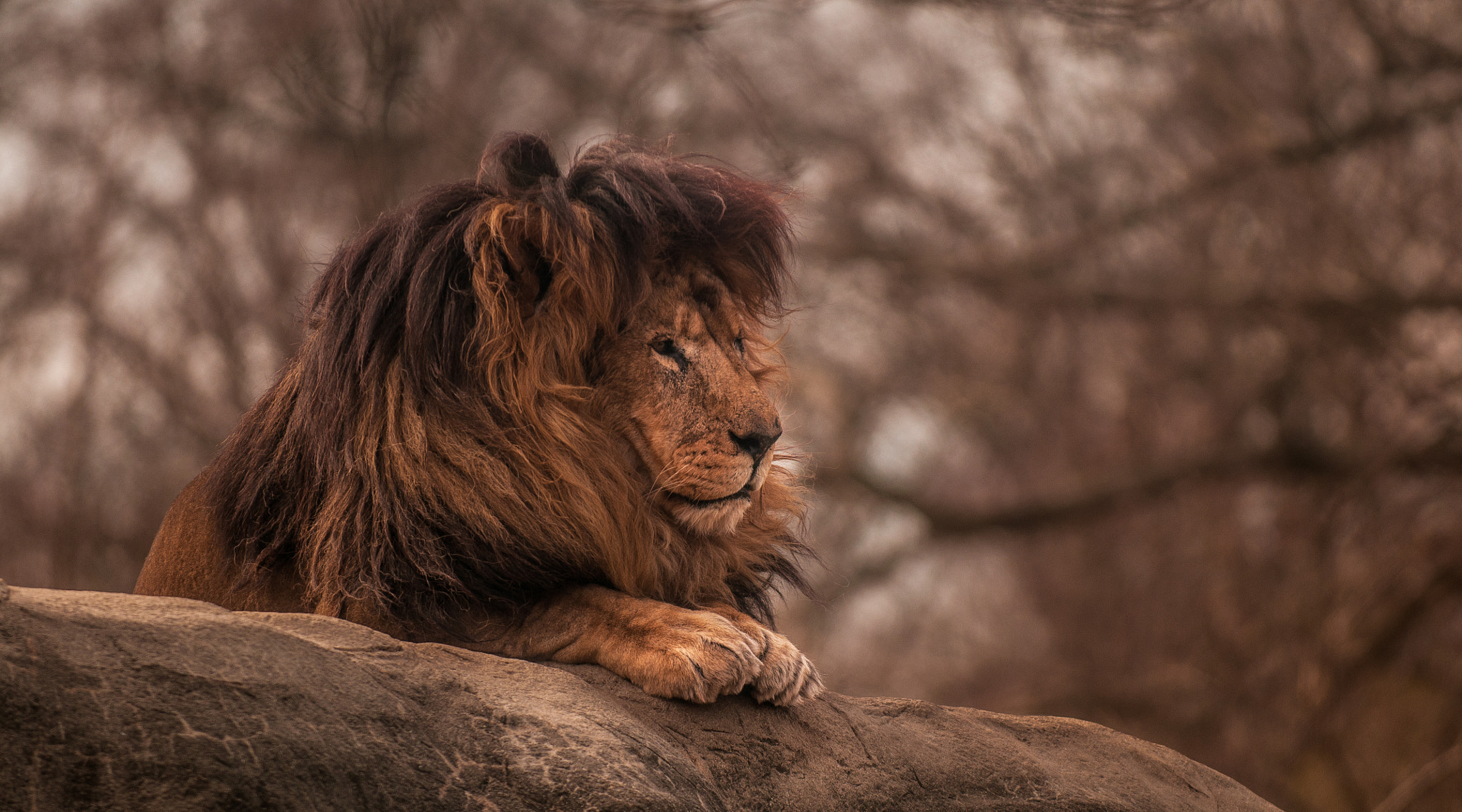 Photograph Lion King by Dylan Colon on 500px